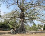 Arbre sagrat dels dioles de Mlomp (Africa)
